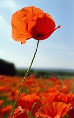 Poppies flourished on the battlefields of First World War France and Belgium amid the mud and death and inspired John McCrae's famous poem